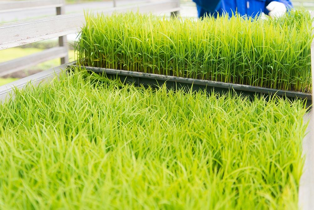 苗のキレイな緑色を見ると、心が癒やされます。