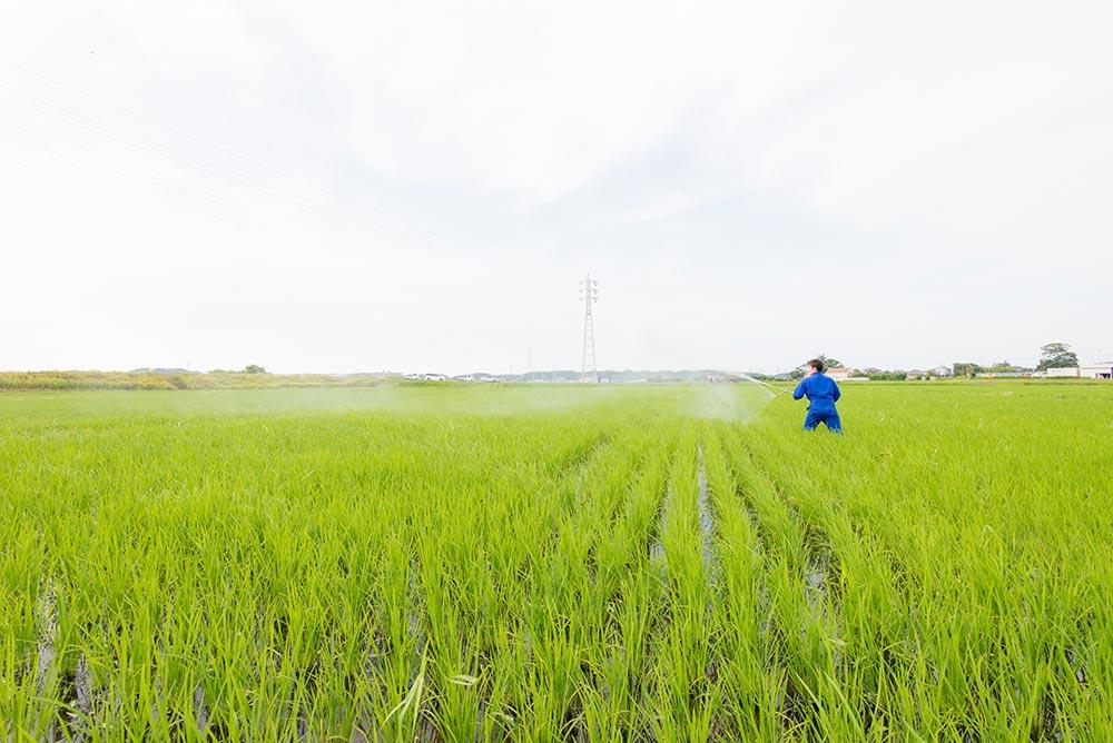 今年は風向きが悪く、あぜ道からではうまく散布できなかったため、田んぼに入って頑張りました。