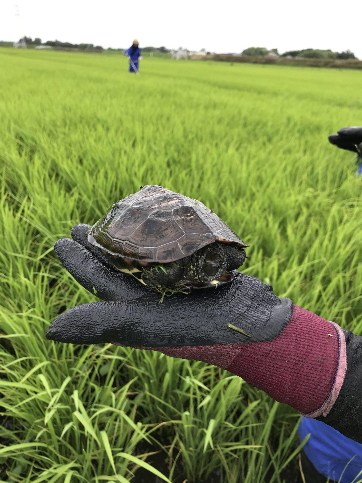 田んぼの中に何か硬いものが……カメ! 自然と調和するりそうファームならではです。