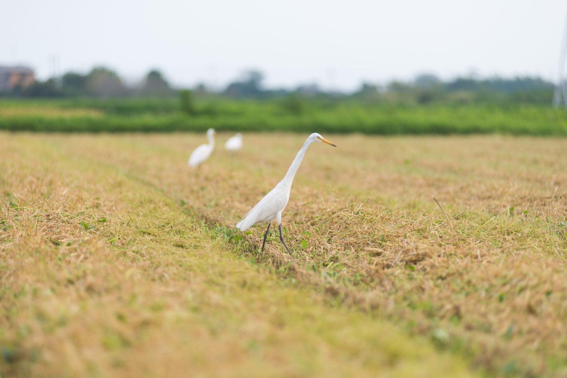 収穫後の田んぼには鳥たちが待ってました!と言わんがばかりに餌探しに集まってきます。