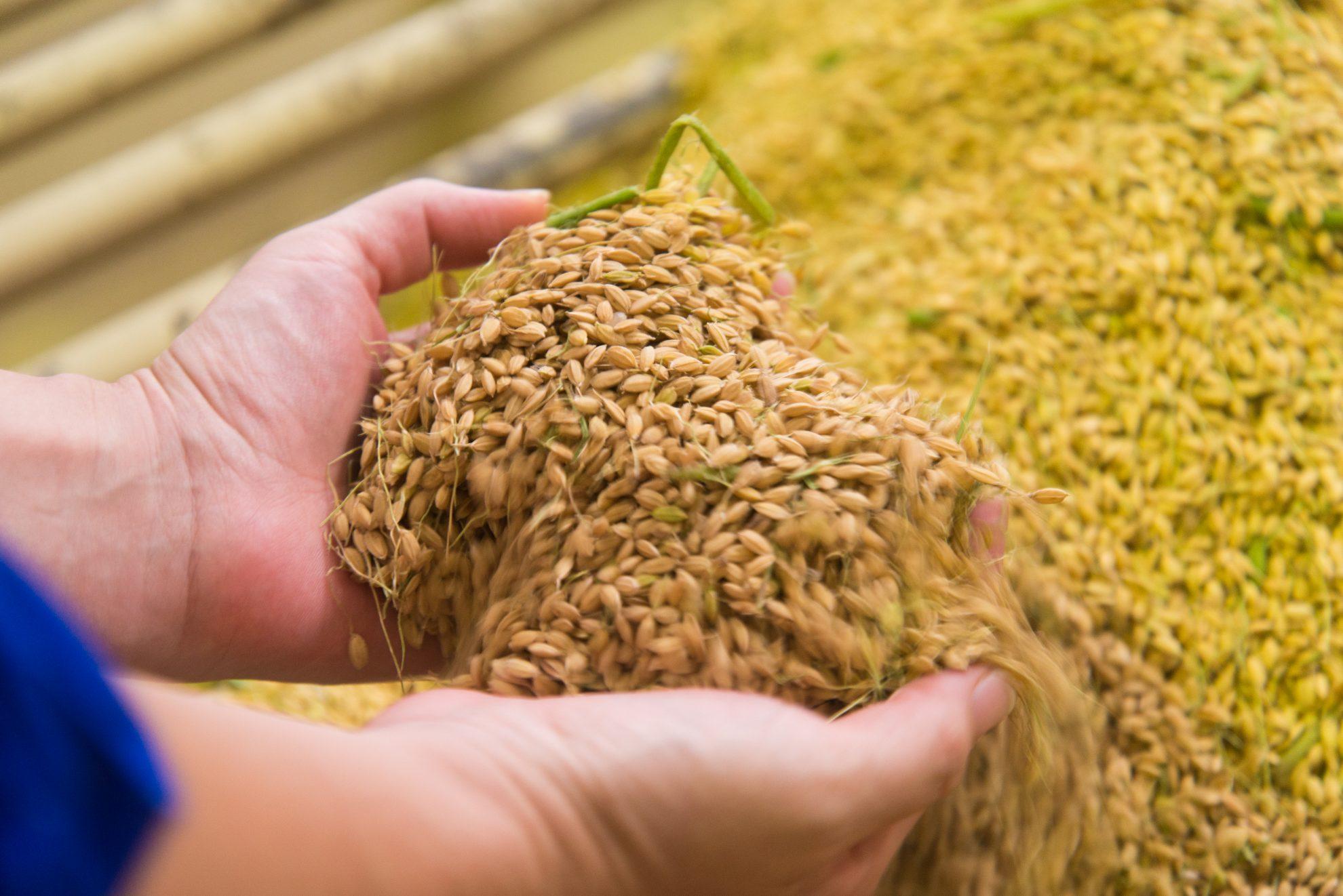 収穫したお米は職人の手によって美容成分を抽出し、コメ発酵生命体®となって美肌づくりに還元して参ります。